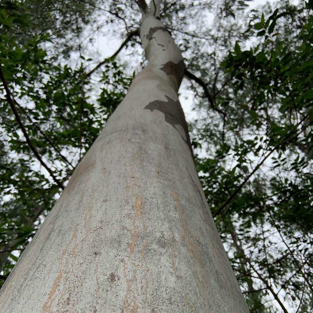 Eukalyptuswald-Paragua